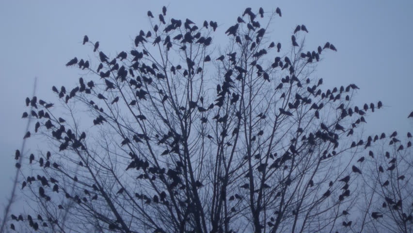 Birds Ravens sitting on a tree, a lot of birds and frightened all the crows fly from the tree. Autumn, winter tree without leaves with black birds. Crows fly away from the tree without leaves | Shutterstock HD Video #8341468