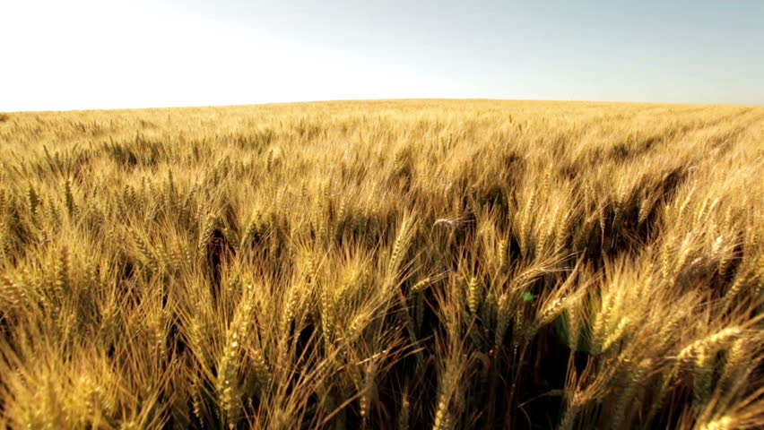 Crane shot over ripe wheatfield in afternoon sun  | Shutterstock HD Video #842380