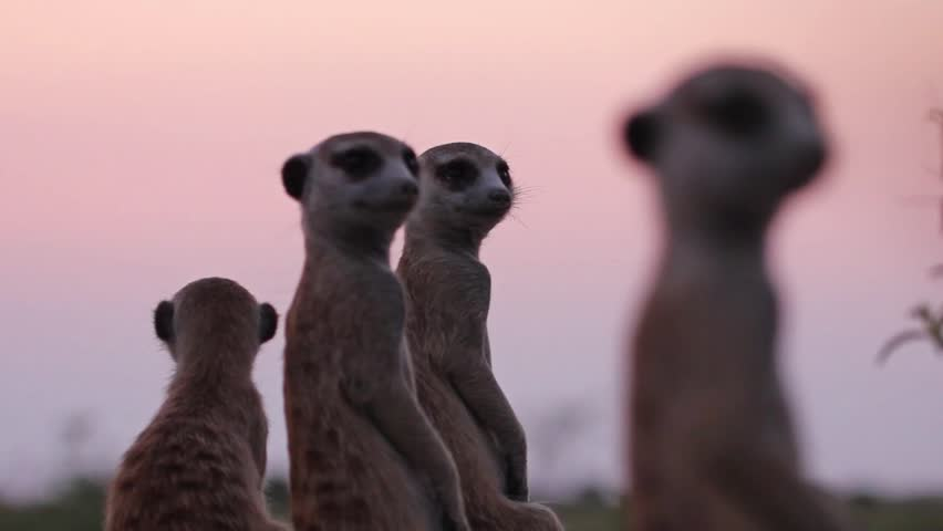 Family of curios Meerkats, watching sunset on African savanna. Cute little creatures having fun flirting with camera. Real Timon.