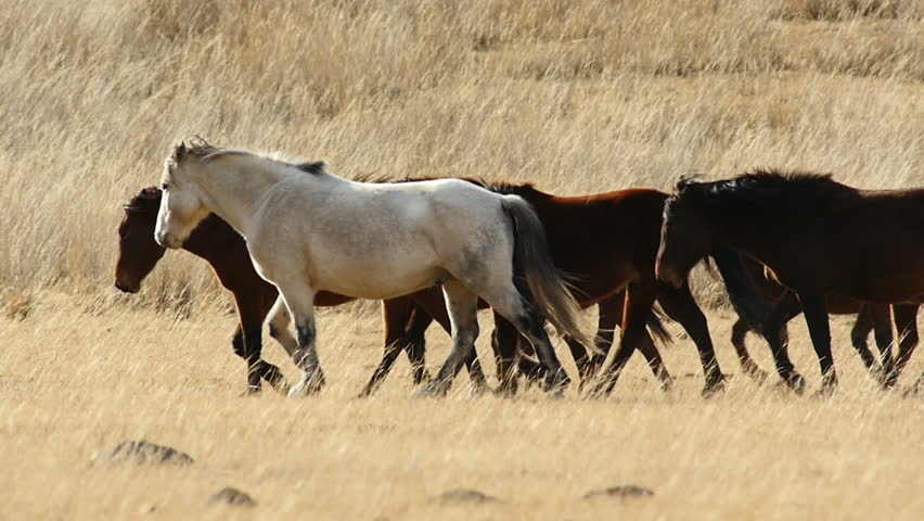 Stock Footage Herd of Young Horses Running in Steppe Slow Motion | Shutterstock HD Video #8496349