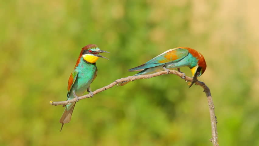 European Bee-eaters on the branch in nature, food | Shutterstock HD Video #8501425