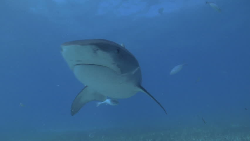 Tiger shark bumps camera twice.