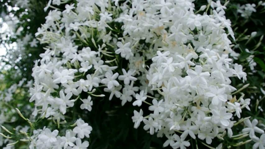 Jasmine Flowers - Beautiful Jasmin Stock Footage Video (100 ...