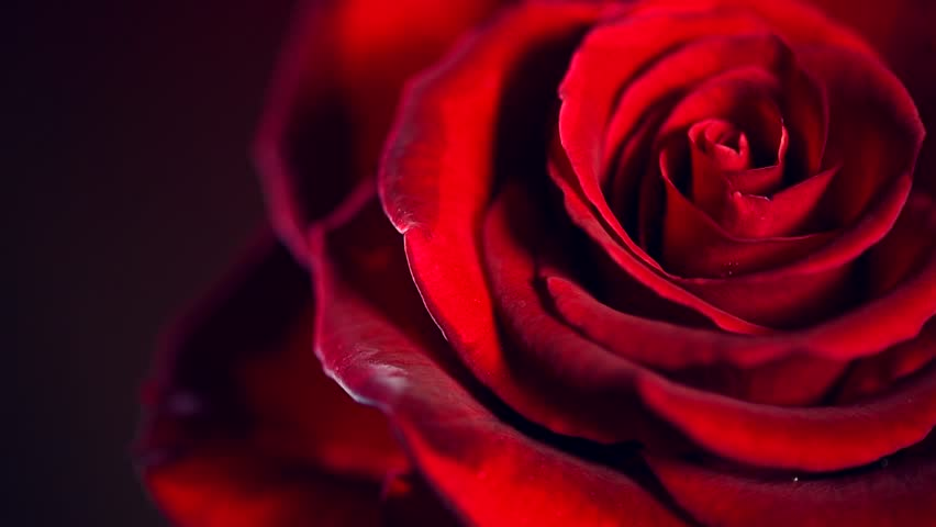 Red Rose Flower Close Up Stock Footage Video 100 Royalty Free 8625370 Shutterstock
