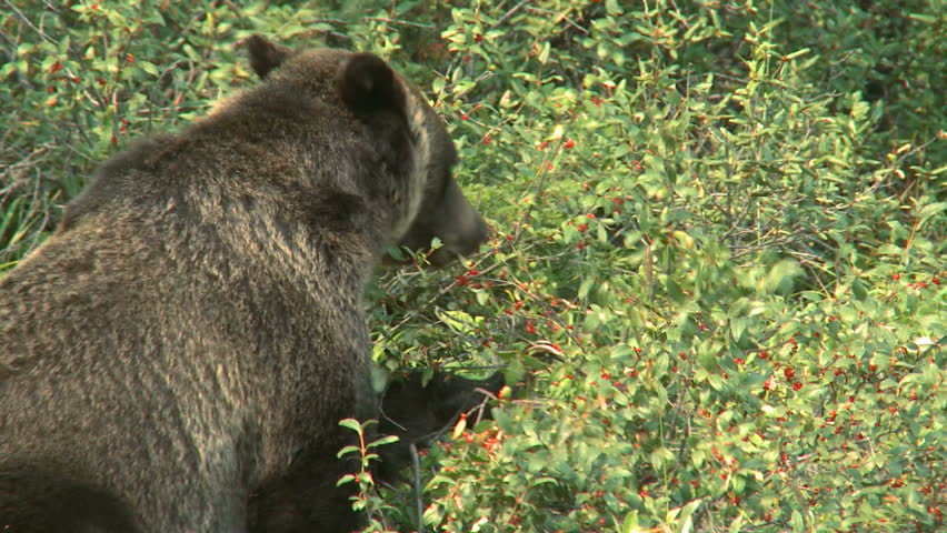Large Grizzly Bear in the wild feeding on buffalo berries in the Rocky Mountains | Shutterstock HD Video #862600