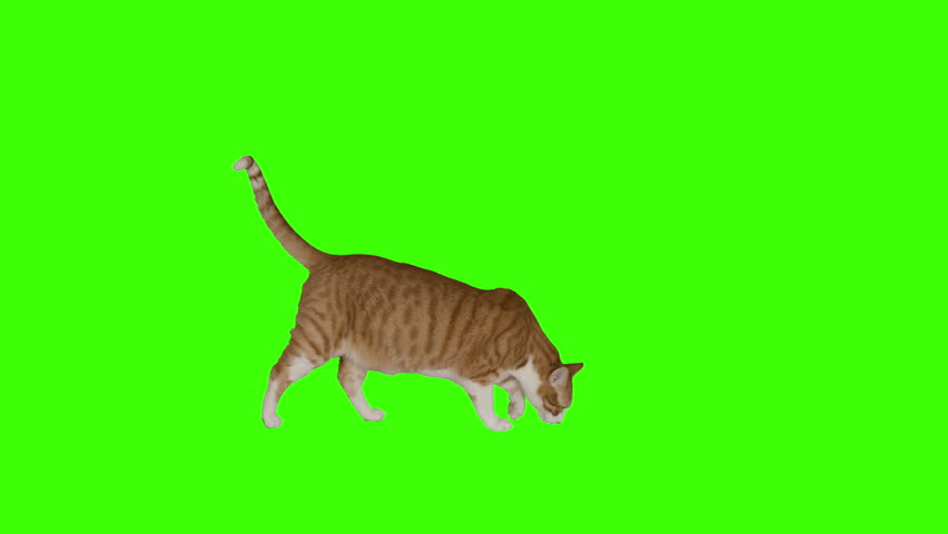 Three versions of yellow cat crossing frame. 4k green screen. Shot with Red Dragon. #8636131