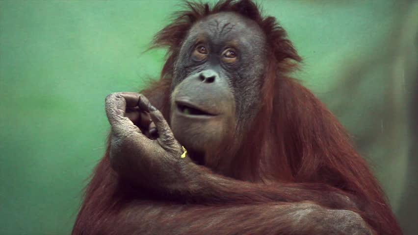 Uninhibited orangutan female close up, sitting on green blur background and looking around. Amazing great ape with human like expression. Wild beauty of red and shaggy monkey in excellent HD clip.  | Shutterstock HD Video #8651662