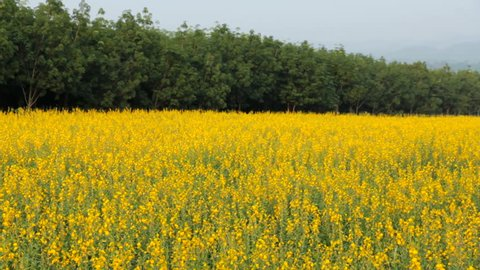 Crotalaria field on a summer day, minimalist style,