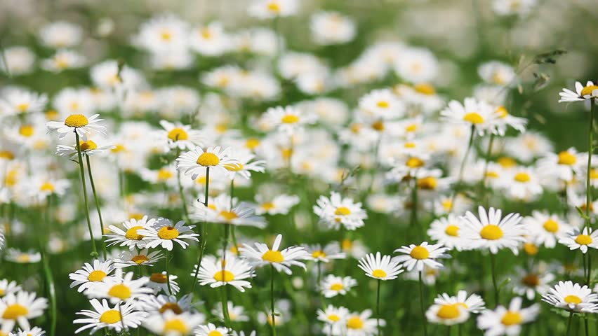 Summer field with white daisies. HD video (High Definition) #8669728