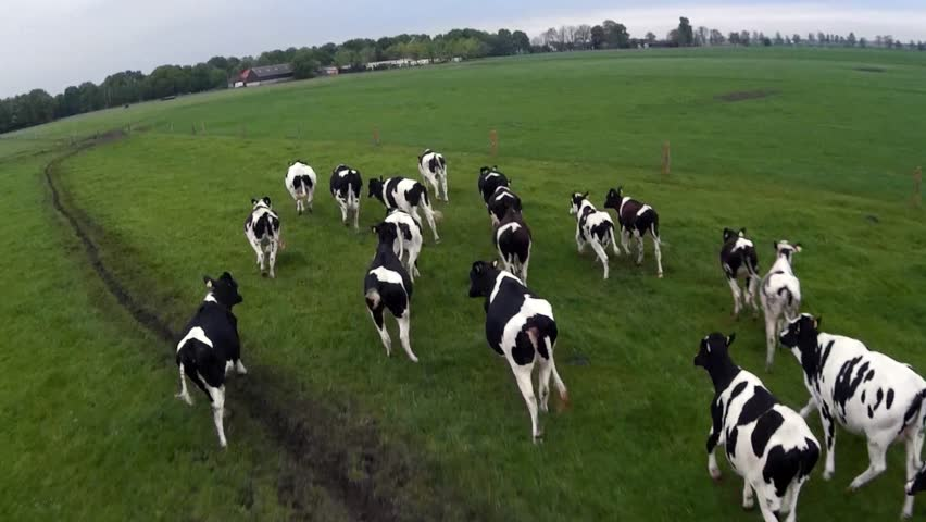 Cow herding from air with drone flying behind group of black white Holstein milk producing cows on green flat field and grey cloudy sky bird view UAV drone herding from above following running cattle