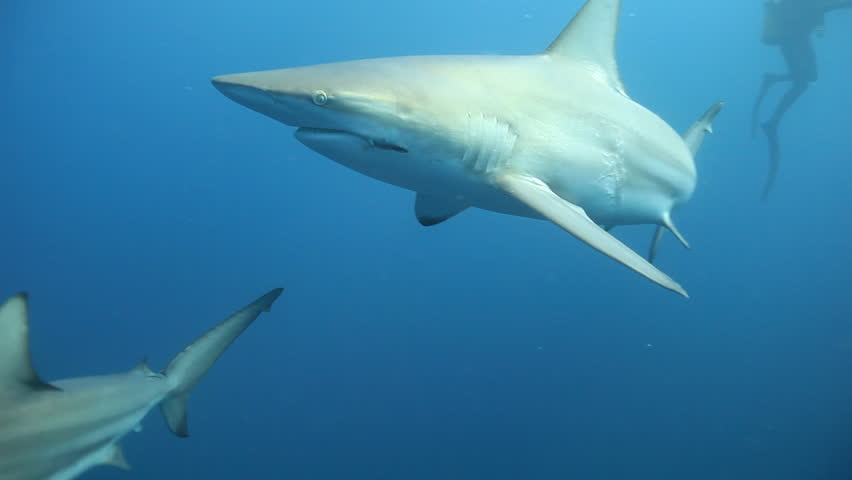 Oceanic blacktip sharks (Carcharhinus limbatus) with damage caused by fishing hook and line swimming on the Protea Banks reef in the Indian Ocean off the east coast of KwaZulu-Natal, South Africa | Shutterstock HD Video #8692513
