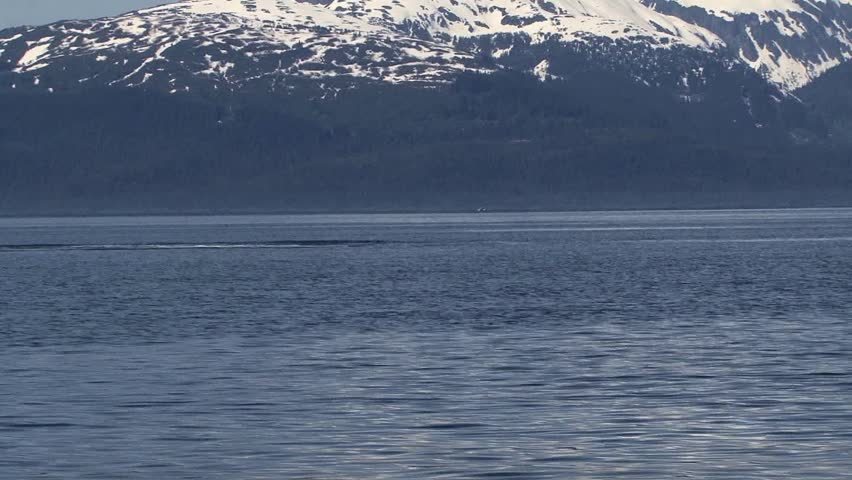 Humpback Whale Breaches Alaskan Waters
