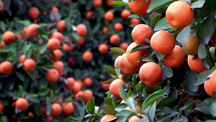 Branch with small tangerine fruits swaying in the wind. Special tree for celebration of Lunar New Year. HD 1080p