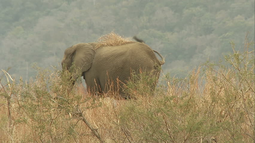 Playful African elephant throws tuft of grass on his back