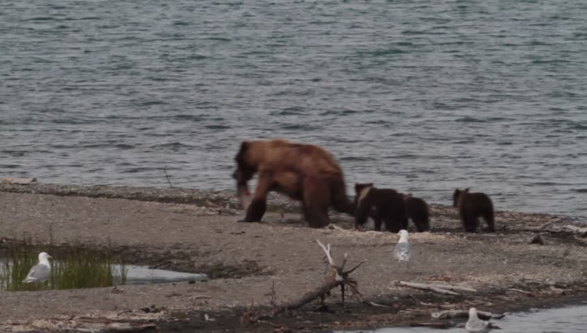 A mother (sow) grizzly catches a sockeye salmon and hustles off to a safe place where she and her four cubs can enjoy the feast in privacy in Katmai National Park, Alaska.