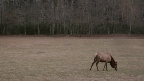 A lone elk grazes in a large field and looks up at the camera.