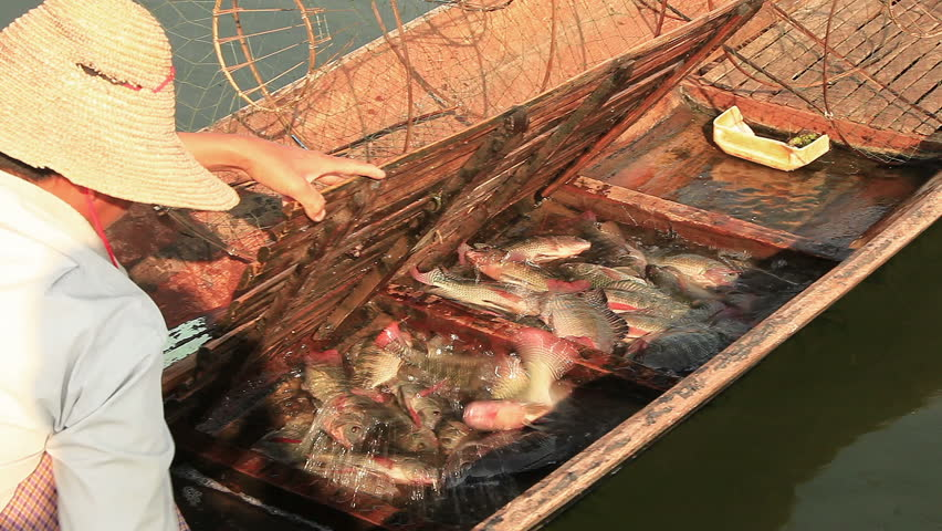 Fisherman moves caught fish from nets in the boat. Inle lake, Myanmar.   Shutterstock HD Video #8788528