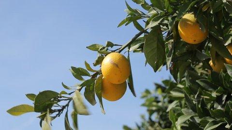 Lemon tree, branch with lemons