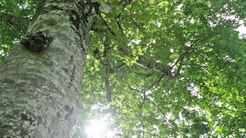 Mother  tree  in Shirakami-sanchi    Shutterstock HD Video #8862928