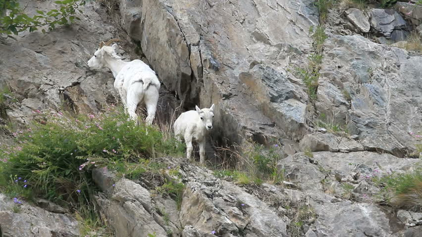 Dall sheep mother ewe and lamb on rocky and steep mountain cliff and ledges near Anchorage Alaska. Along mountain in Turnagain Arm. Eating grass. Pure white wild sheep. Wildlife in the wild.