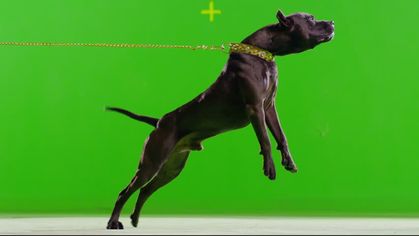 3K Real black pit bull dog barking. Green screen chroma key. Slow Motion. 