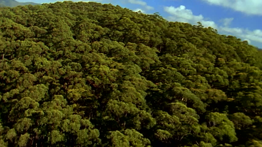 A sweeping aerial shot from a helicopter revealing over a hill an Australian gumtree forrest in Healesville Victoria, transferred from 16 mm film to HD #8991604
