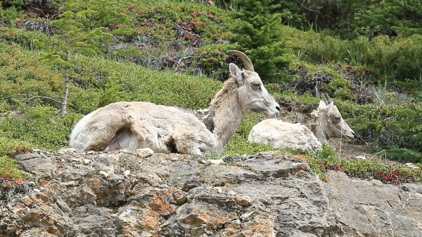 Wildlife Female Bighorn sheep ewe and young lamb laying high on a rocky mountain cliff. Calmly watching. Shaggy hair from early summer shedding.
