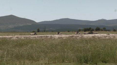 Zebra Safari - Garden Route - South Africa.