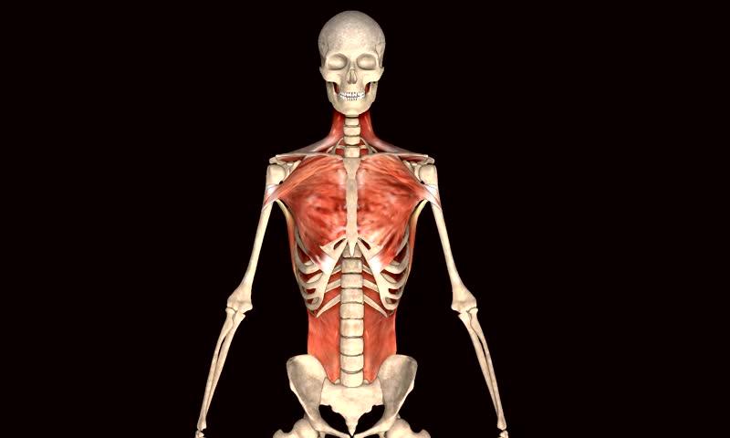 Skeleton body muscle | Shutterstock HD Video #9049714