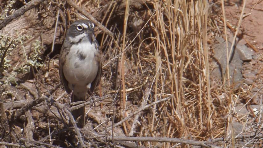 Sage Sparrow | Shutterstock HD Video #908128