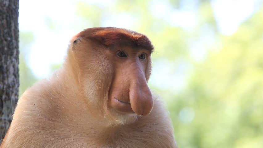 Large nosed alpha male proboscis monkey in Borneo, Malaysia #9095750