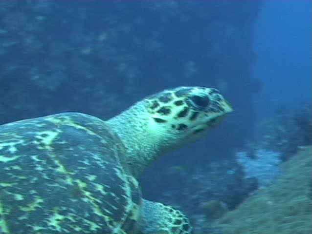 Hawksbill Turtle swimming over Softcorals @ North Twin Pinnacle, Andaman Sea, Myanmar