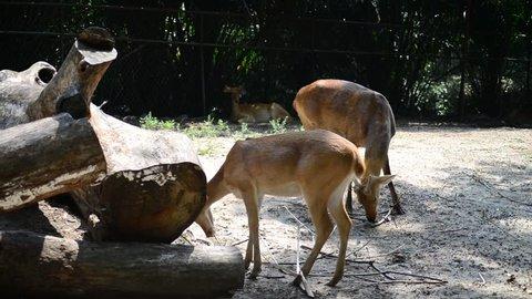 Sambar Deer (Rusa Unicolor) In Zoo