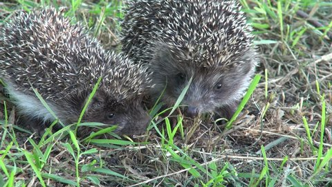 Two little hedgehogs scared of each other.