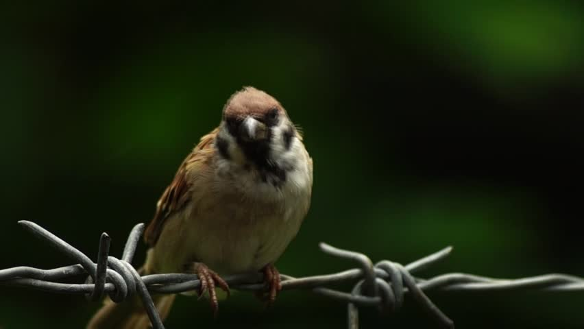 Bird Eurasian Tree Sparrow or Passer montanus perch on barbedwire