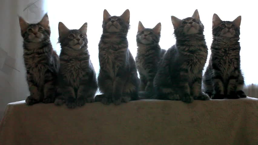 Funny Maine coon cats move their heads back and forth. HD. 1920x1080 #9251369