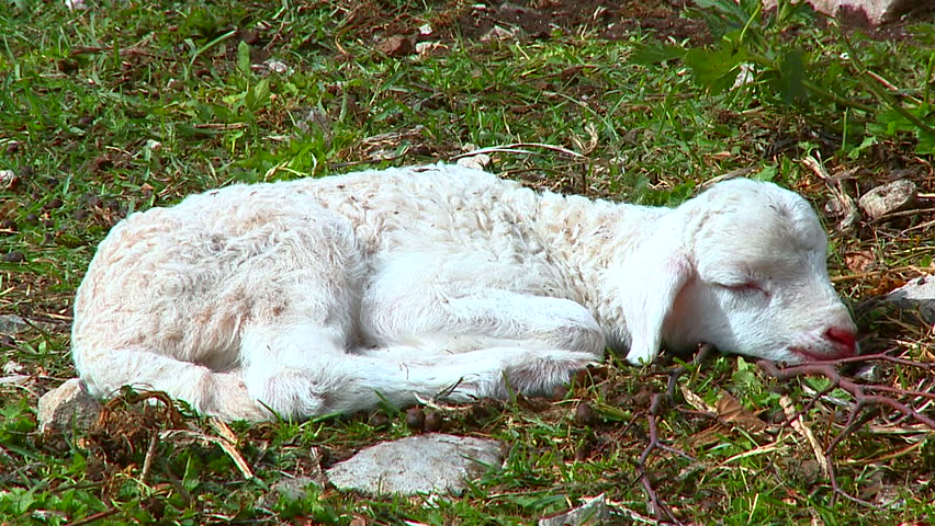 Baby Lamb Lying On The Stock Footage Video 100 Royalty Free 9268073 Shutterstock