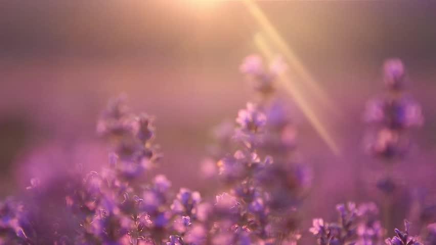 Sunset on the lavender field   Shutterstock HD Video #9269267