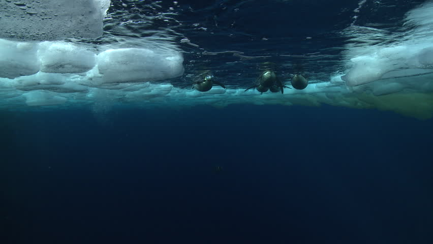Emperor penguins (Aptenodytes forsteri) swimming to the surface and diving in hole in sea ice, underwater, Cape Washington, Antarctica #9321167