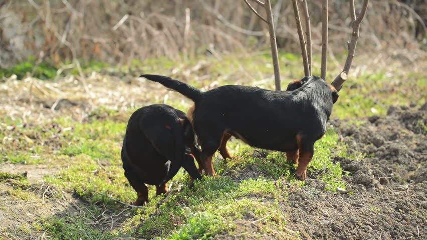 Pair of Dachshund Dog Mating, Stock Footage Video (100%