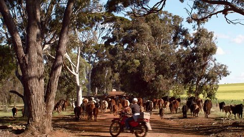 WOODANILLING, AUSTRALIA - OCTOBER 2014: A farmer on a motorbike mustering a herd of cattle down a country road in Western Australia.