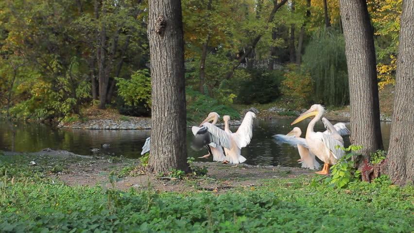 Pelicans flap their wings near pond in Zoo | Shutterstock HD Video #9435755