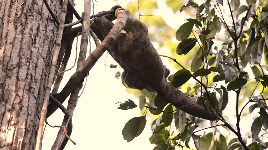 A Brown-throated sloth (Bradypus variegatus) climbs from branch to branch with a small, newborn baby on her back. | Shutterstock HD Video #9438548