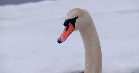Mute swan close-up of head in winter - turns towards camera