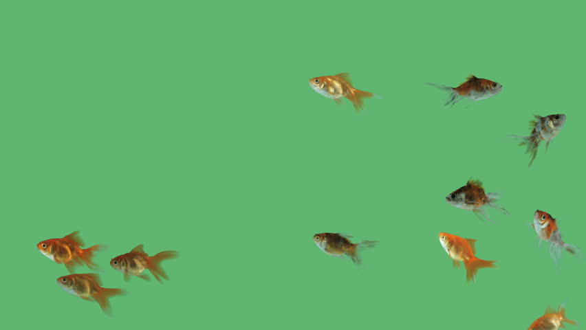 Flock of fishes swimming free on green screen | Shutterstock HD Video #9544580