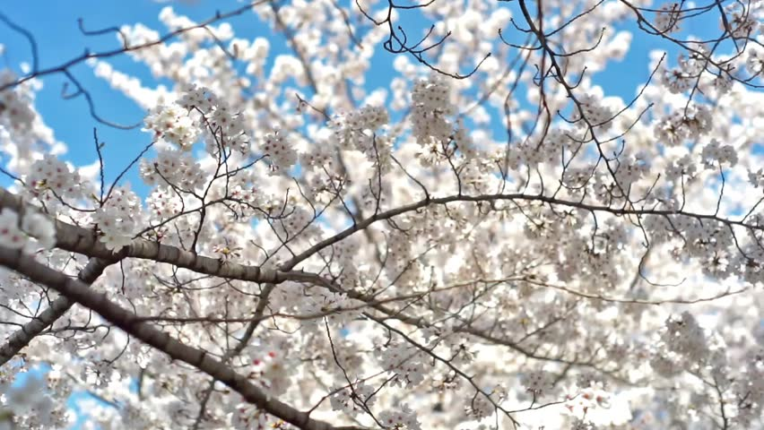 Cherry Blossom Tree In Full Bloom Swaying In The Breeze White