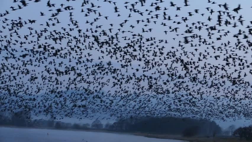 Flying of migratory birds. _5 / April 12, 2015 to the shooting in Japan Hokkaido of swamp / Taking flock of migratory birds that were flying to the