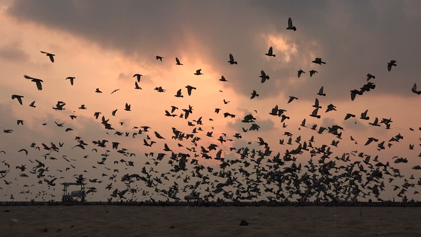 A massive flock of pigeons take off at sunrise, at the beach in Chennai, India.