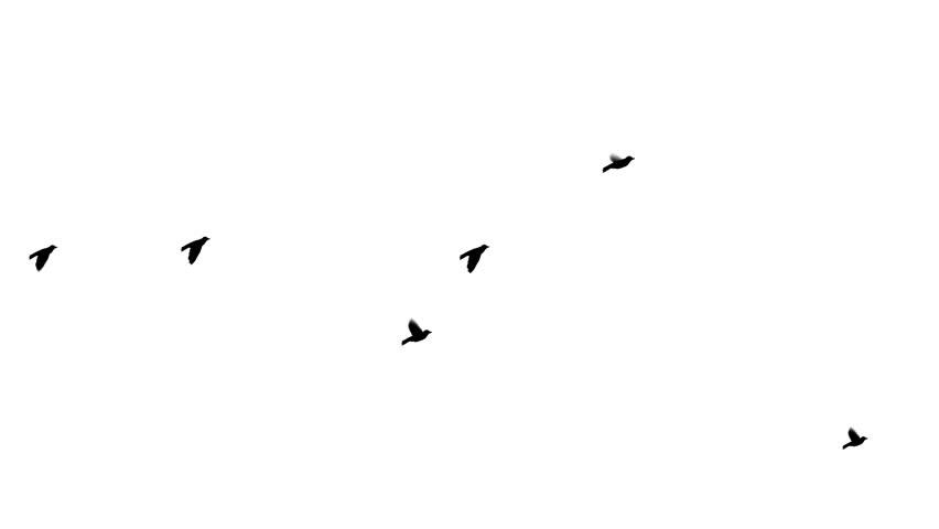 Flock of birds flying across the screen.