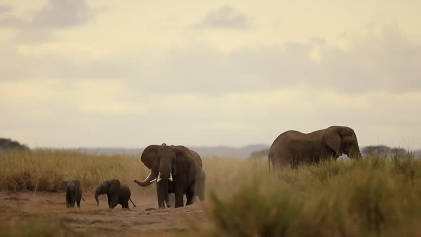 Elephant  in aggressive movement chasing lion to protect their calf   Shutterstock HD Video #9591107